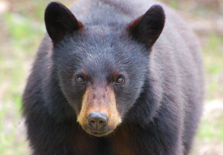 Bear eyes at night - photo#22