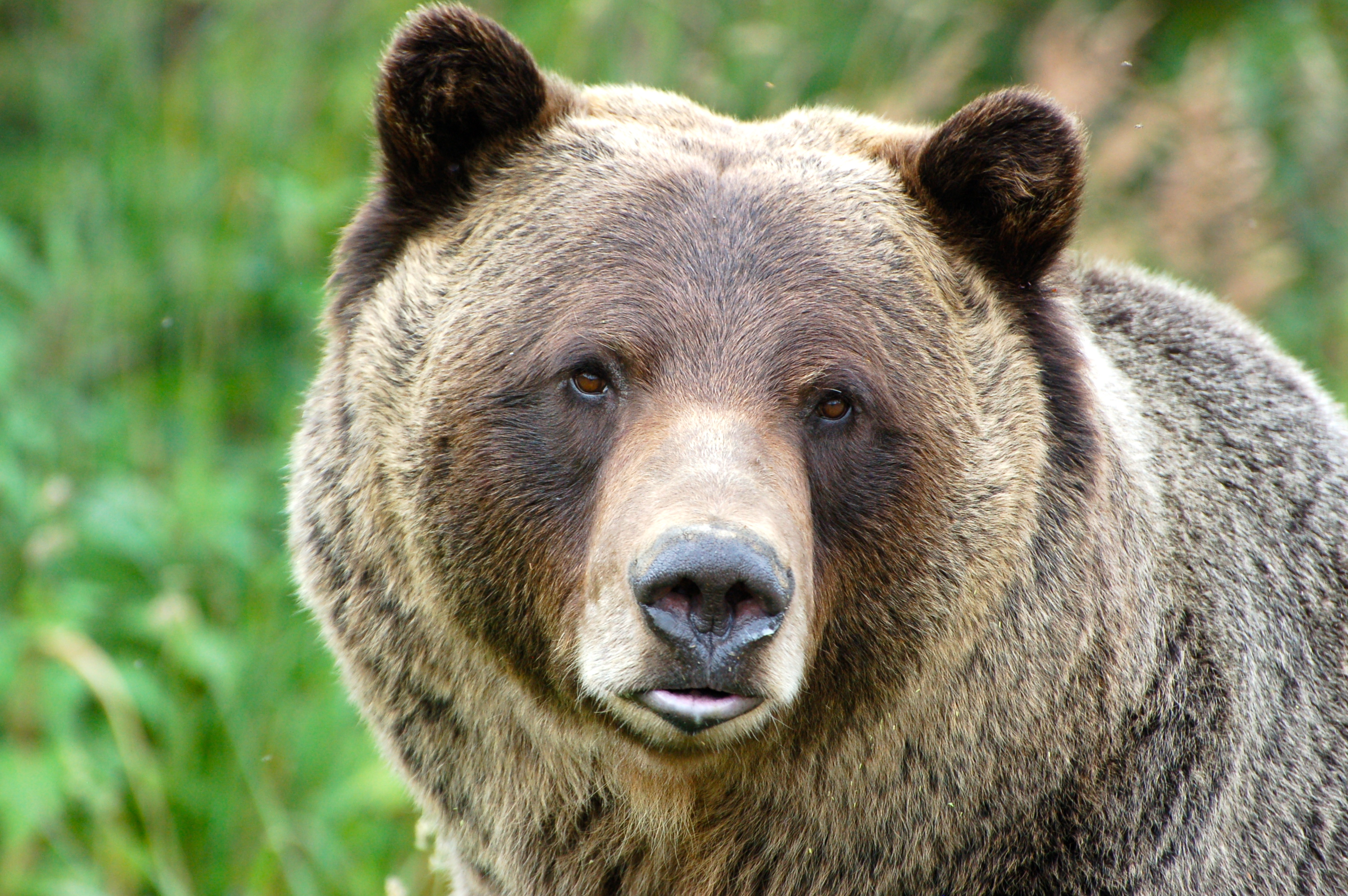 Http Galleryhip Com Grizzly Bear Face Html