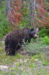 bear134