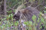 Awesome Porcupine