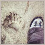 Walking Alongside the Bears